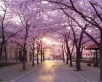 Главное весенние событие в Японии — цветении сакуры.