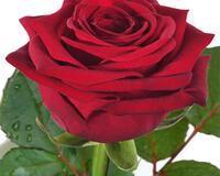 Разве влюбленность это красный цветок ?
